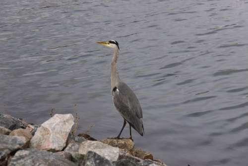 Grey Heron Bird Expensive Wings Natural Plumage