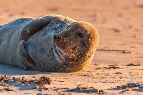 Grey Seal Robbe Halichoerus Grypus Beach Dune