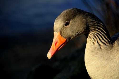 Greylag Goose Geese Animal Gander Bill