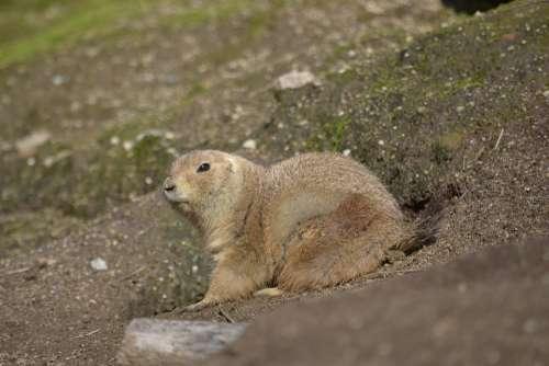 Groundhog Prairiedog Zoo Animal
