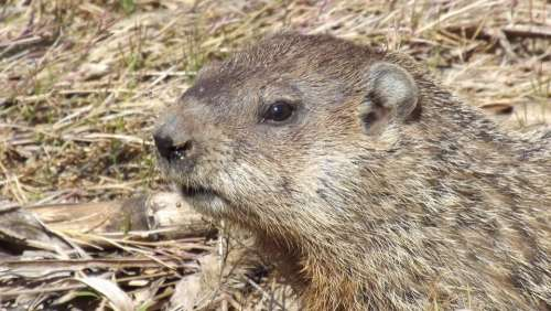 Groundhog Woodchuck Whistlepig Animal Rodent