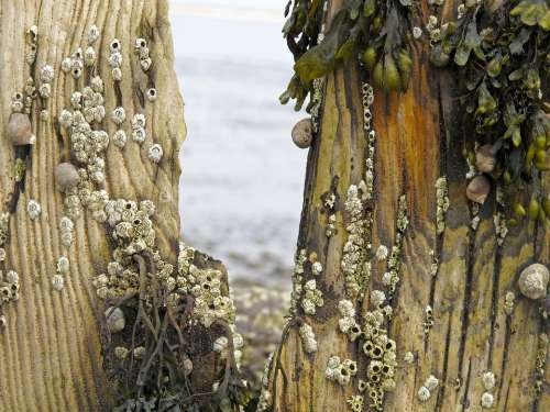 Groynes Sea Beach North Sea Barnacles Snails