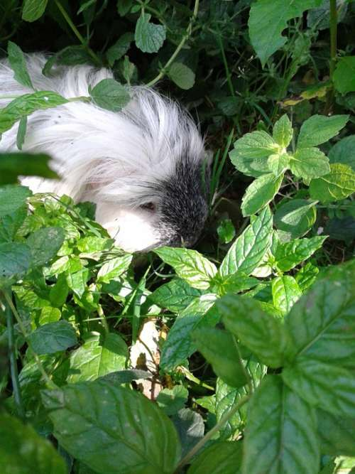 Guinea Pig Pet Hidden Grass Leaves Rodent Nager