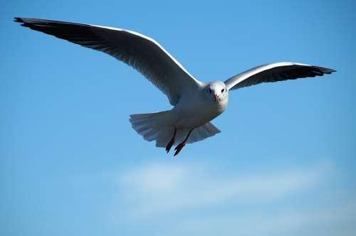 Gull Bird Tern Bird Flight Flying Wing Freedom