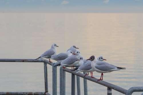 Gull Seemoeve Animals Voegle Water Bird Web
