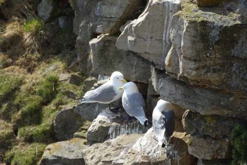 Gulls Breed Rock Birds