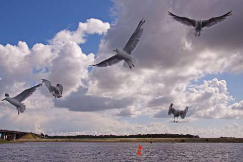 Gulls Birds Expensive Flying Natural Flight Wings