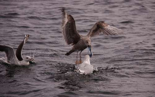 Gulls Birds Expensive Natural Wings Sea Seabird