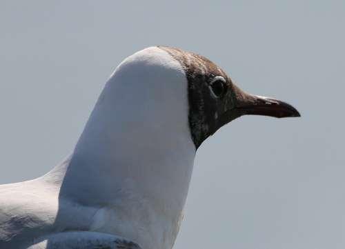 Gulls Black Headed Gull Chroicocephalus Ridibundus