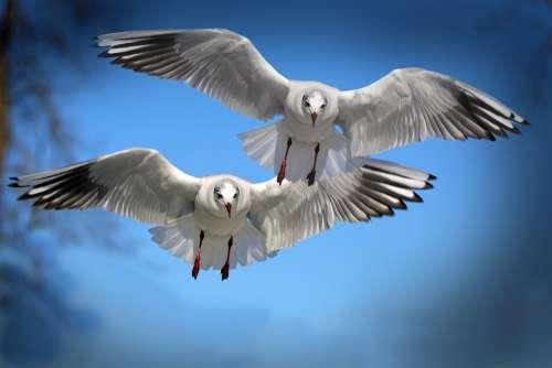 Gulls Birds Flying Water Bird Seevogel Animal
