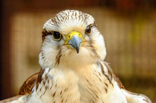 Gyrfalcon Falcon Bird Raptor Bird Of Prey Plumage