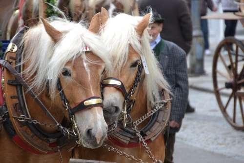 Haflinger Horses Mammal Mane Horse Head