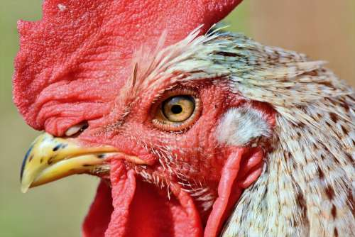 Hahn Rooster Head Crow Poultry Eye Comb Chicken
