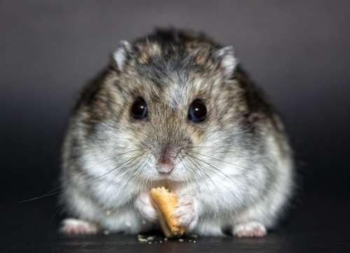 Hamster Rodent Dwarf Hamster Nager Dschungare