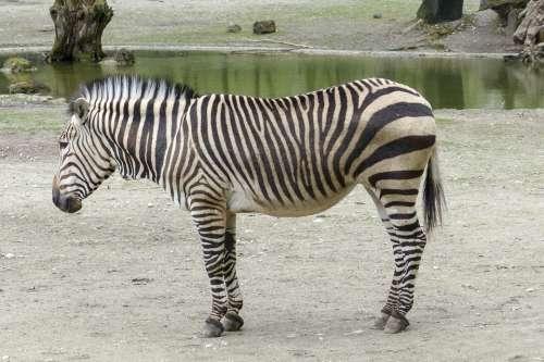 Hartmann Mountain Zebra Zebra Southwest Africa