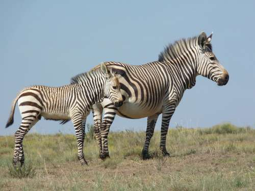 Hartmann'S Zebra Bergzbra Nature Animal World