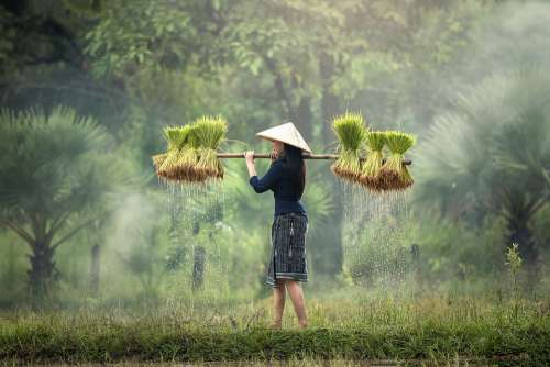 Harvesting Myanmar Burma Rice Plantation Vietnam