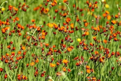 Hawkweed Flower Meadow Pilosella Aurantiaca Meadow