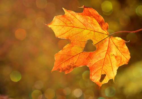 Heart Sweetheart Leaf Autumn Maple Bokeh Nature