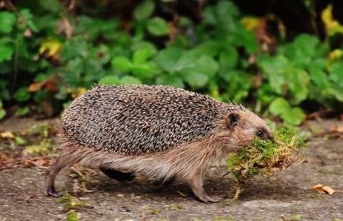 Hedgehog Animals Spur Cute Nature Animal World
