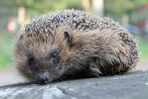 Hedgehog Garden Animal