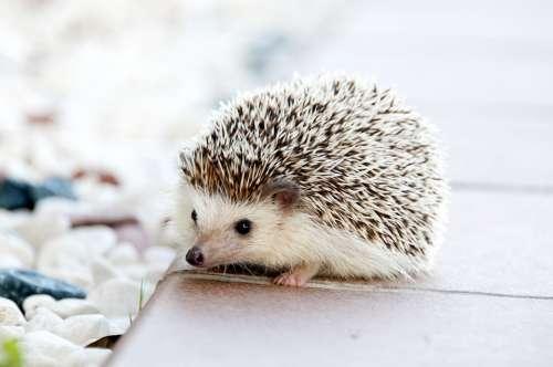Hedgehog Animal Baby Cute Small Pet