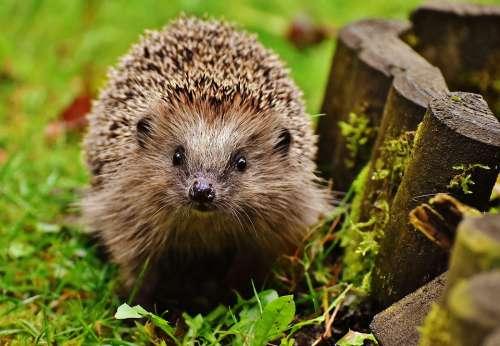 Hedgehog Child Young Hedgehog Hedgehog Animal Spur
