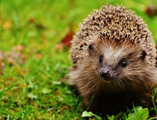 Hedgehog Child Hedgehog Animal Young Hedgehog Spur