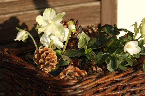 Hellebore White Flowers Christmas Rose Nature