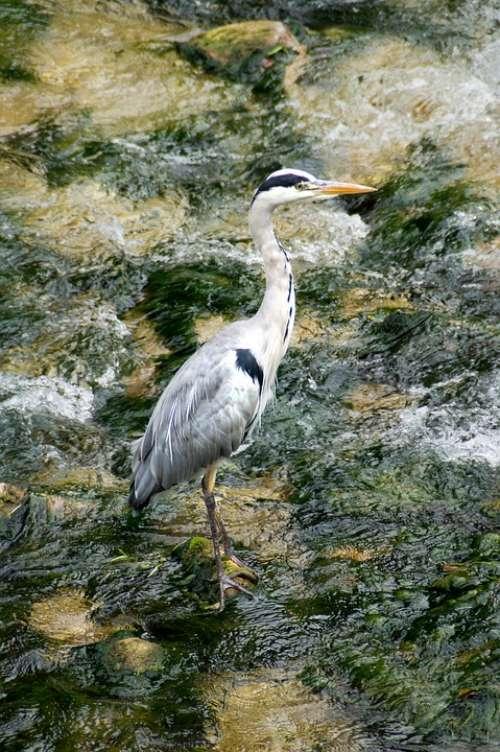 Heron Bach Nature Water