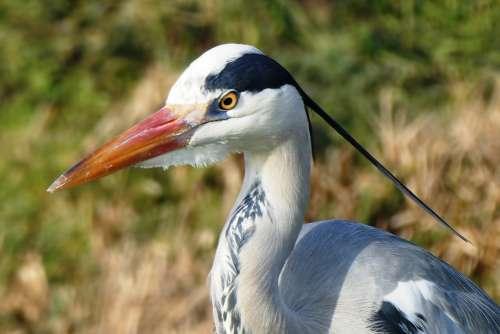 Heron Grey Heron Head Beak Feathers Feather Bird