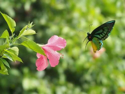 Hibiscus Butterflies Tropical