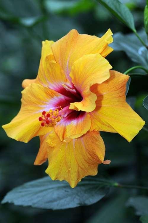 Hibiscus Flower Nature Mayotte Yellow