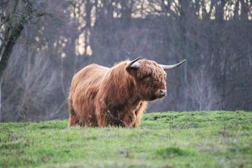 Highland Bull Highland Cattle Kyloe Scottish Beef