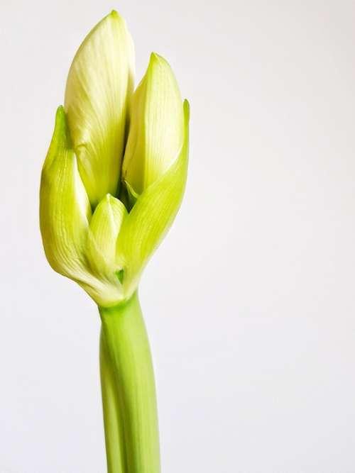 Hippeastrum Bud Plant Bulbous Indoor Bloom