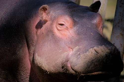 Hippopotamus Animal Africa Mammals Ears Fauna