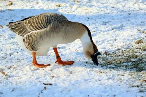 Höcker Goose Winter Feed Snow Cold