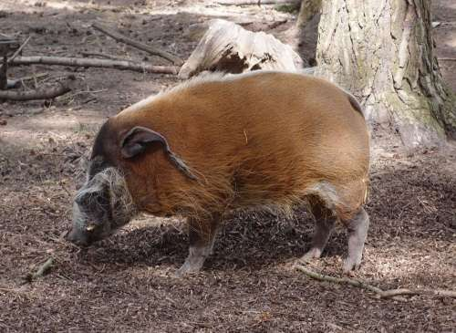 Hog Pig Wildlife Animal Nature Mammal Zoo
