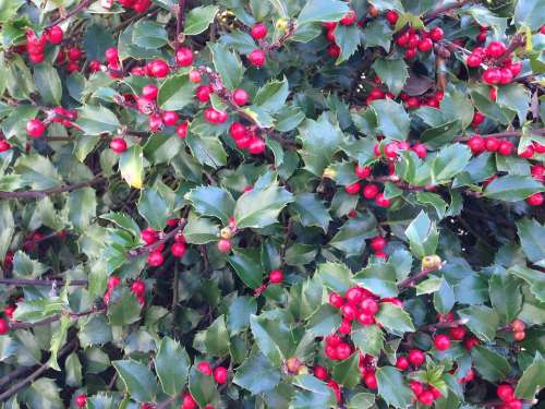 Holly Holly Berries Berry Nature Shrub Plant Ilex