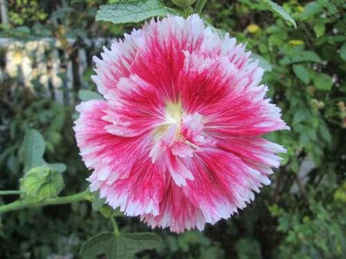 Holyhock Garden Flower Red White