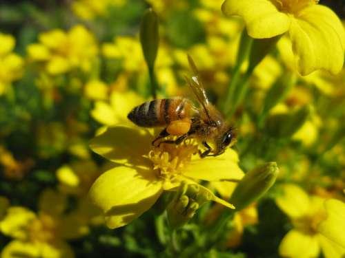 Honeybee Apis Mellifera Yellow Flower