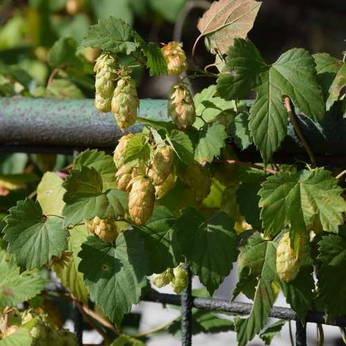 Hop Cones Foliage The Fence Plant Green