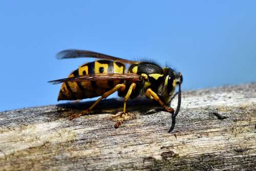 Hornet Insect Wasp Sting Animal Macro Prickly