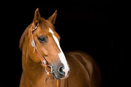 Horse Mare Bridle Animal Ride Equestrian Brown
