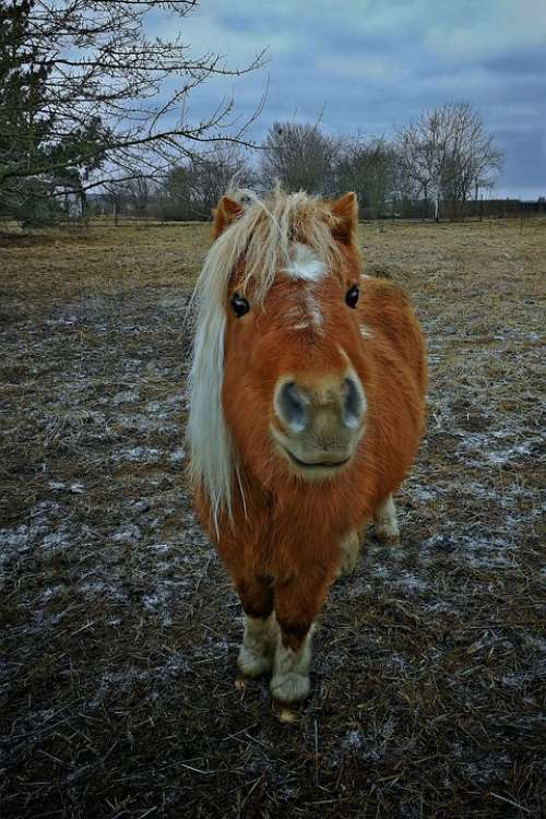 Horse Hdr Small Pony Brown Animal Cute Nature
