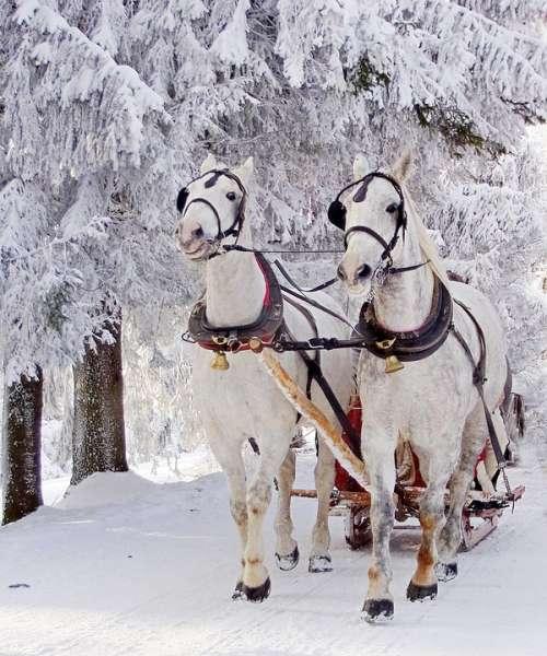 Horse Pride Nature Snowy Winter