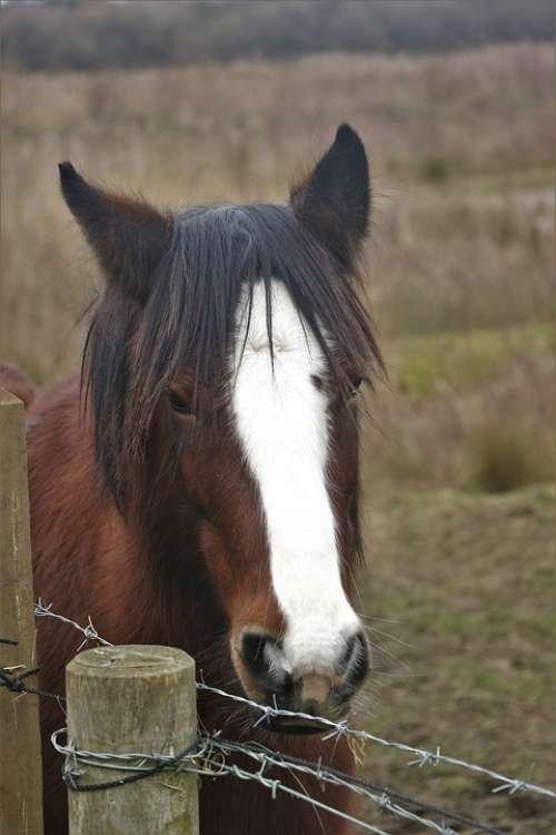 Horse Animal Mane Field