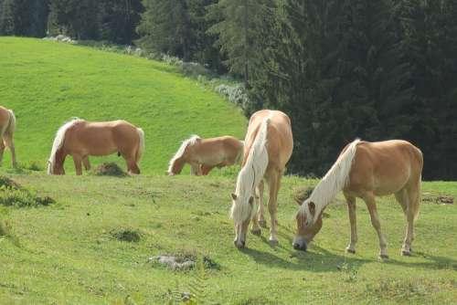 Horse Horses Alpine Nature Animals Ride Pasture