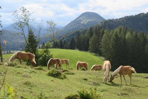 Horse Horses Animal Nature Ride Pasture Mane