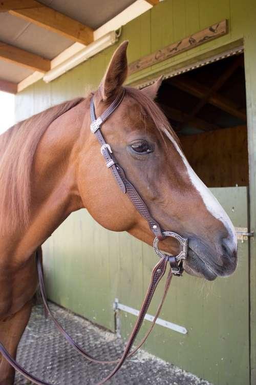 Horse Western Horse Fuchs